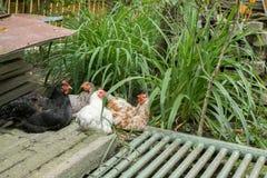 Kurczaki w jardzie kraj obraz stock