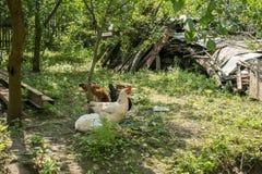 Kurczaki w jardzie kraj obrazy royalty free