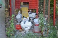 Kurczaki w klatce obraz stock