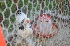 Kurczaki w klatce fotografia royalty free