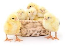 Kurczaki w koszu zdjęcie royalty free