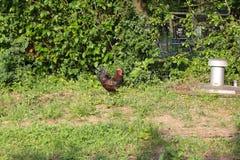 Kurczaki w ogródzie zdjęcie royalty free