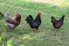 Kurczaki w ogródzie fotografia stock