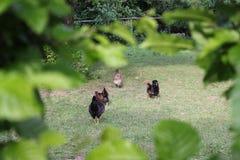 Kurczaki w ogródzie zdjęcia stock