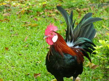 Kurczaki w Ogródzie zdjęcia royalty free