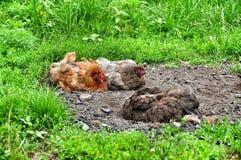 Kurczaki w pyle obrazy stock