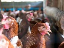 Kurczaki w rolnym i zamazanym tle obraz stock