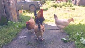 Kurczaki w Rosyjskim wioski łasowania jedzeniu w tle starzy drewniani budynki zbiory wideo