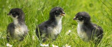 Kurczaki w trawie obrazy stock