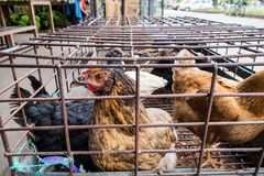 Kurczaki w zatłoczonych klatkach Fotografia Royalty Free