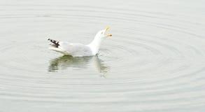kurenda pluskocze seagull target732_0_ Fotografia Royalty Free