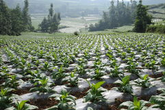 kurerad rökkanal planterad standardiseringtobak Royaltyfria Foton