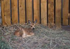 Kurgan, зоопарк России Petting, косуля Стоковые Изображения