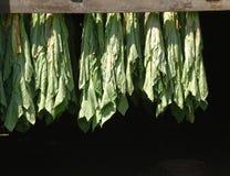 Kurieren des Farbton-Blättertabaks Stockbilder