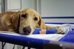 Kurierter Hund Lizenzfreie Stockbilder
