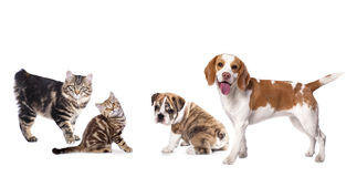 Kuril Bobtail and beagle Royalty Free Stock Images