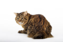 Kuril Bobtail Cat Royalty Free Stock Images