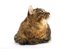 Kuril Bobtail Cat Stock Photo