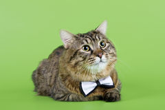 Kuril Bobtail Cat Royalty Free Stock Image