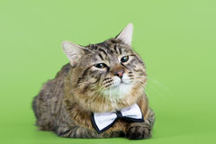 Kuril Bobtail Cat Royalty Free Stock Photos