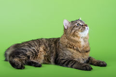 Kuril Bobtail Cat Stock Photos