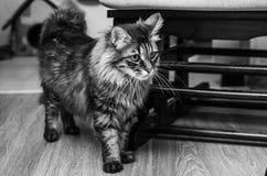 Kuril Bobtail cat Stock Images