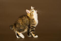 Kuril Bobtail Stock Images