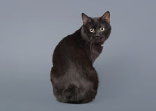 Kuril bobtail cat on a gray background Royalty Free Stock Photography