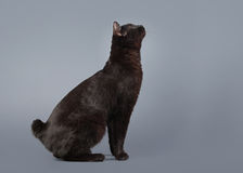 Kuril bobtail cat on a gray background Stock Photos