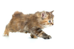 Kuril bobtail cat or kitten stealing Royalty Free Stock Images