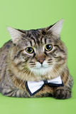 Kuril Bobtail Cat Stock Image