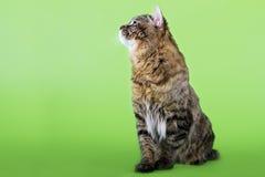 Kuril Bobtail Cat Royalty Free Stock Photos