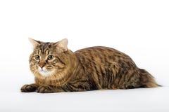 Kuril Bobtail Cat Royalty Free Stock Image