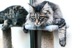 Kuril Bobtail cat Stock Photos
