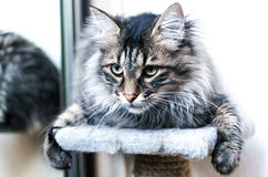 Kuril Bobtail cat Stock Photo