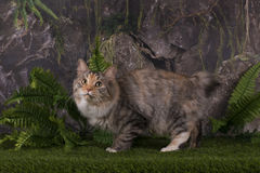 Kuril Bobtail hunts in the mountains Royalty Free Stock Photography