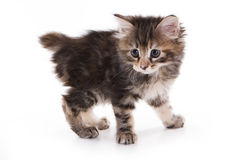 Kuril Bobtail kitten Royalty Free Stock Photos