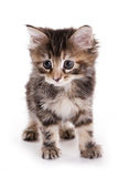 Kuril Bobtail kitten Royalty Free Stock Photography