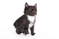 Kuril Bobtail kitten Stock Images
