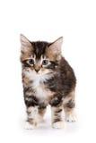 Kuril Bobtail kitten Stock Photo