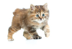 Kuril bobtail kitten stealing or sneaking Royalty Free Stock Photo