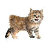Kuril bobtail tortoiseshell coat coloring kitten isolated Royalty Free Stock Photos