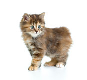 Kuril bobtail tortoiseshell coat coloring kitten Royalty Free Stock Image