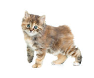 Kuril bobtail tortoiseshell coat coloring kitten isolated Stock Images