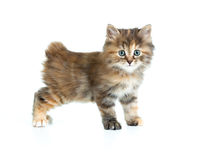 Kuril bobtail tortoiseshell coat coloring kitten Stock Photos