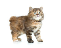 Kuril bobtail tortoiseshell coat coloring kitten looking up Stock Photography