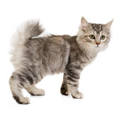 Kuril Bobtail Stock Photography