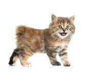 Kuril de laag van de bobtailschildpad het kleuren geïsoleerd katje royalty-vrije stock foto's