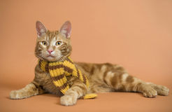 kurilian短尾的品种的小猫 免版税库存照片