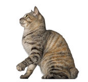 Kurilian Bobtail, 1 year old, sitting Royalty Free Stock Photography